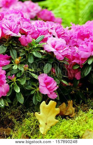 Beautiful pink azalea close up on blurred background