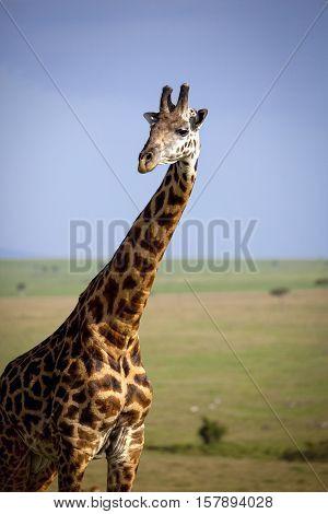 A tall male giraffe stands majestically in the foreground of a Masai Mara vista in Kenya