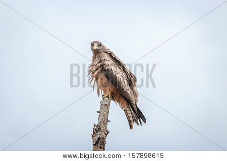 Yellow-billed Kite Sitting On A Branch.