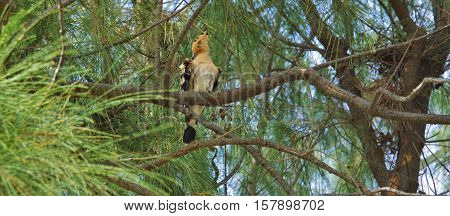 Hoopoe sitting on a branch of pine tree
