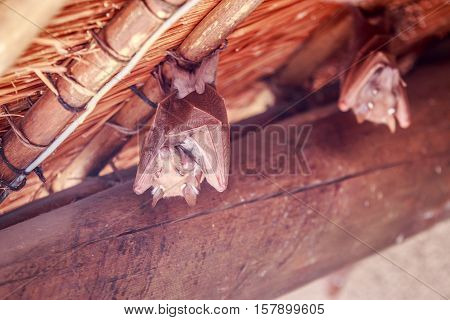 Wahlberg's Epauletted Fruit Bat Hanging Upside Down.