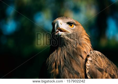 Close up Eagle Haliaeetus albicilla on green grass background. Wild bird