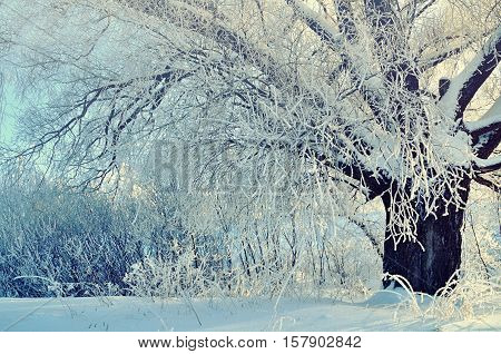 Winter landscape - winter snowy tree in the sunshine. Winter forest sunny scene in early winter morning with winter soft sunlight- view of winter forest in the sunrise. Winter landscape scene