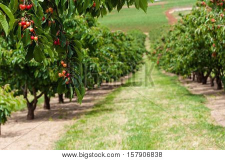 Delicious Red Cherries Hanging On Tree Branch With Rows Of Cherry Tree Blurred In Background