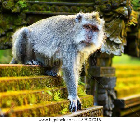 Monkeys In A Stone Temple. Bali Island, Indonesia