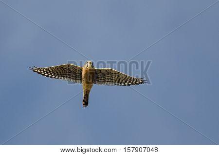 American Kestrel Flying in a Blue Sky