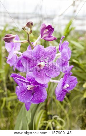 Big violet flower orchids. Beautiful blossoms close-up. Orchid flower on a branch in a garden of orchids. Thailand