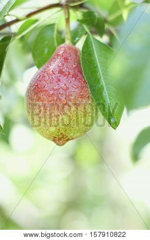 Organic wet fresh pear on a tree in garden