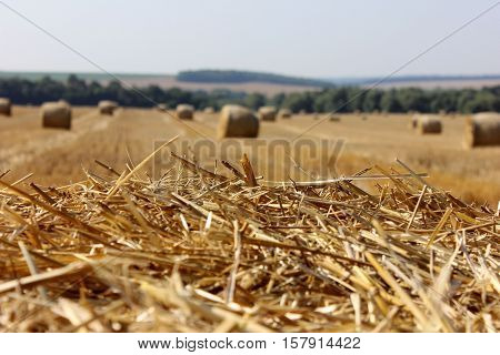 Rye straws with the hay stack background. Golden rye and hay stacks. Harvesting rye.