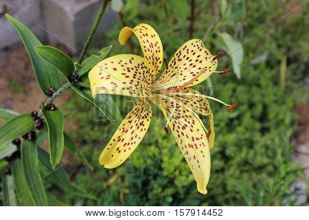 Tiger yellow lily growing in garden. Lily in blossom. Flower of tiger spotted yellow lily.