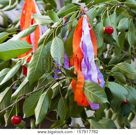 Gilzem. Festive tree - cherry, decorated with bright ribbons. Participates in the rite of marriage. Lipovec, Vinnytsia region. Ukraine.