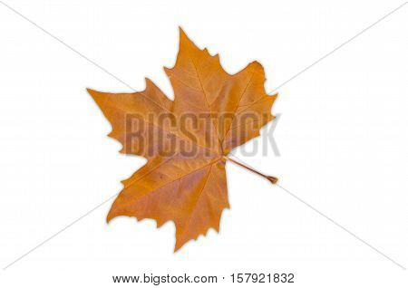 A brown fallen leaf of the Norway maple tree (Acer platanoides) isolated on a white background. poster