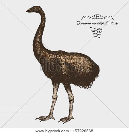 hand drawn vector realistic bird, sketch graphic style, moa bird, dinornis novaezelandiae extinct species