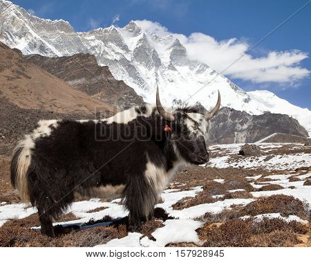 Yak on the way to Everest base camp and mount Lhotse - Nepal