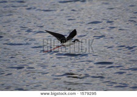 Black Necked Stilt Flyin Over Water