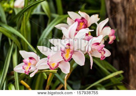 white cymbidium flower , orchid nature beauty