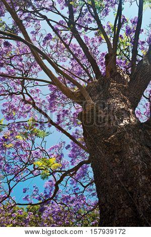 Jacaranda tree bark and stems with Jacaranda flowers in low angle shot
