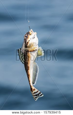 fish Amur goby caught on fishing rod on background of blue water