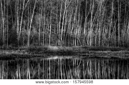 Stand Of Aspen Next To Pond In Black And White