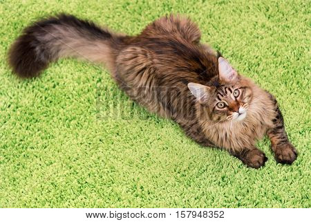 Fluffy black tabby kitty - 6,5 months old - lying on a green carpet. Portrait of domestic Maine Coon kitten, top view point. Playful beautiful young cat looking away.