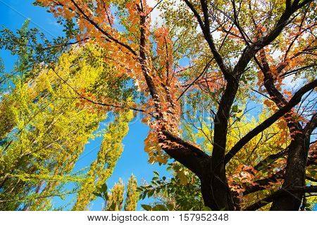 Colors of early autumn. Red, orange, yellow and green leaves in early autumn woods. Red leaves are Ivy (Parthenocissus tricuspidata).