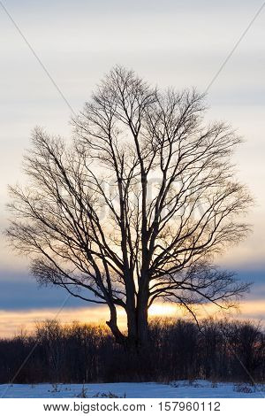 large tree silhouette against a winter sunset
