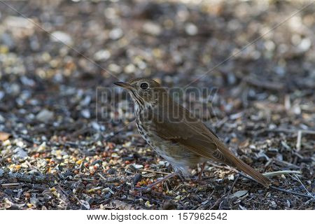 Hermit Thrush on ground looking for seeds.