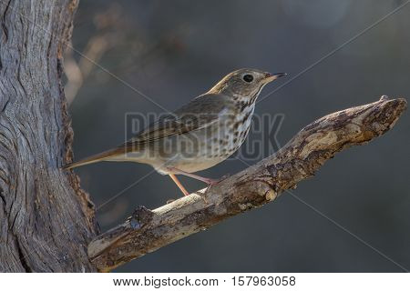 Hermit Thrush sitting on dead tree limb.
