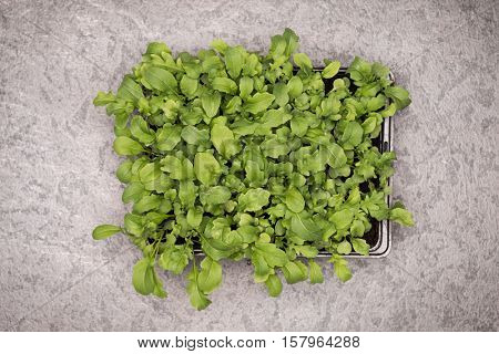 Sweet rucola salad or rocket lettuce leaves in pot on rustic background. Healthy eating concept. Top view.