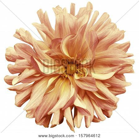 autumn big flower yellow-pink-brown yellow center on a white background isolated with clipping path. Closeup. big shaggy flower. for design. Dahlia.