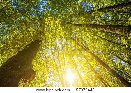 Under the high treetops looking up at sunbeam - low angle view of tall trees in deciduous forest