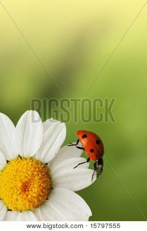 Marienkäfer auf Gänseblümchen-Blume. Makro close up, flachen Dof.