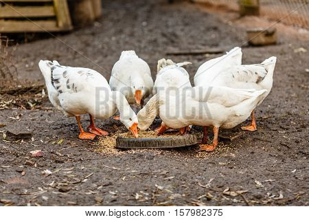 White geese eating grain on the domestic farmstead