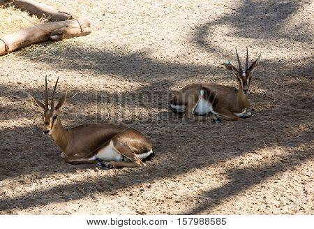 gemsbok antelope or oryx gazella in safari park