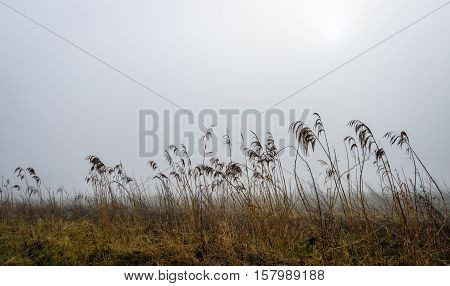 A misty morning in a rural area with dripping wet seedheads of the reed plants. The sun is almost visible in the gray clouds. The Dutch winter season is almost over.