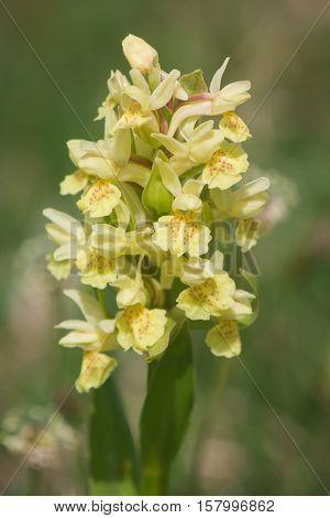 Macro of yellow dactylorhiza sambucina - Elder-flowered Orchid