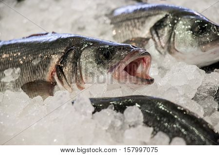 Fresh European seabass or Dicentrarchus labrax lavpaki on ice in the greek fish shop lined up for sale. European seabass on ice in fish shop. Horizontal. Daylight. Close.