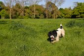English Springer Spaniel creeping in the grass with his ear over his eyes poster
