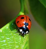 Ladybird on leaf poster