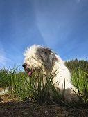 Fluffy bobtail dog resting on green grass poster