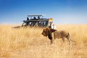 Side view portrait of beautiful big lion hunting at safari park, Africa poster