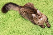Fluffy black tabby kitty - 6,5 months old - lying on a green carpet. Portrait of domestic Maine Coon kitten, top view point. Playful beautiful young cat looking away. poster