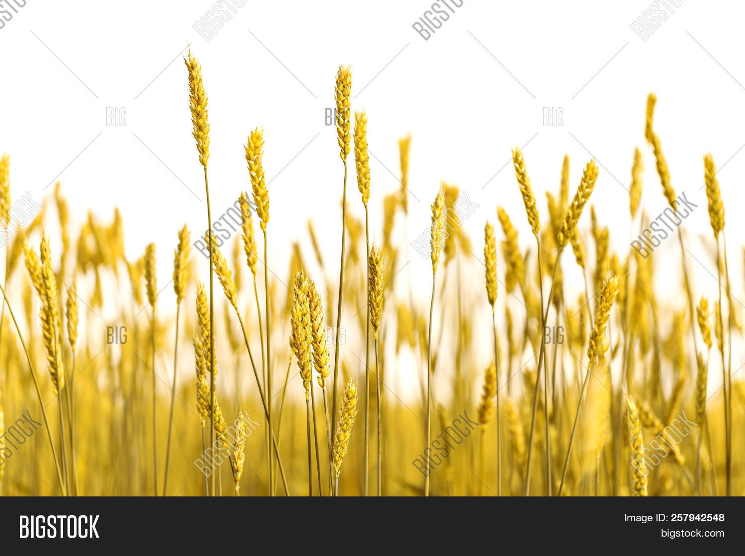 Ears Gold Wheat On Image & Photo (Free Trial) | Bigstock