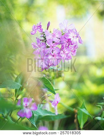 Beautiful Violet Flowers Closeup, Wood Cranesbill Or Woodland Geranium Flower (geranium Sylvaticum),