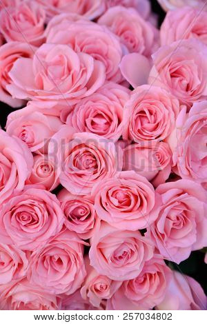 Close up pink rose bright background,