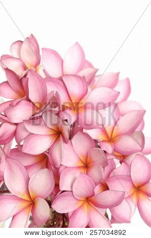Bouquet of pink hydrangea isolated