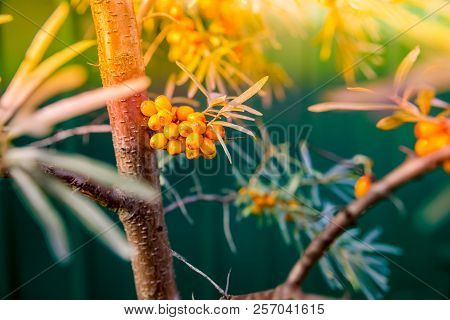 Sea Buckthorn Bush With Yellow Berries , Hippophae Rhamnoides, Sandthorn, Sallowthorn Or Seaberry.se