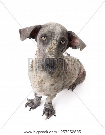 Closeup Face Of Dog Sick Leprosy Skin Problem With White Background, Selective Focus
