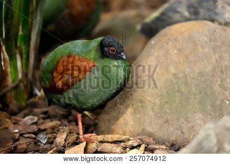 Full Body Of Small Female Crested Partridge Is A Resident Breeder In Lowland Rainforests. Photograph