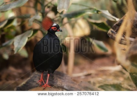 Full Body Of Small Male Crested Partridge Is A Resident Breeder In Lowland Rainforests. Photography
